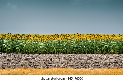 sunflower  field in an agricultural landscape