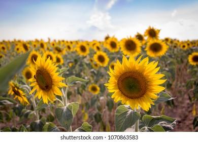 Sunflower field in Aix en Provence, France