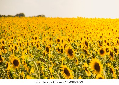 Sunflower field in Aix en Provence, France