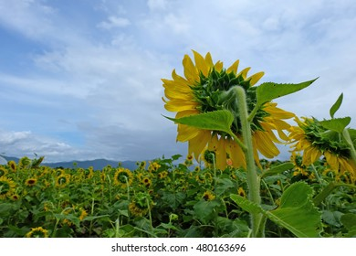 Sunflower field among valley in Chaing-mai, Thailand.