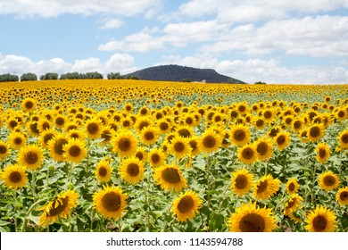 Sunflower field in Andalucia
