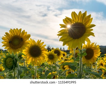 Sunflower Field in August