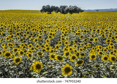 Sunflower field in in backlight over clean blue sky with holm oak tres in the middle, Badajoz, Extremadura, Spain