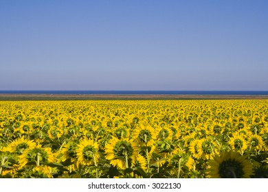 Sunflower field beautiful landscape with lake on the background