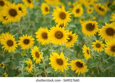 Sunflower field, Beauty in nature