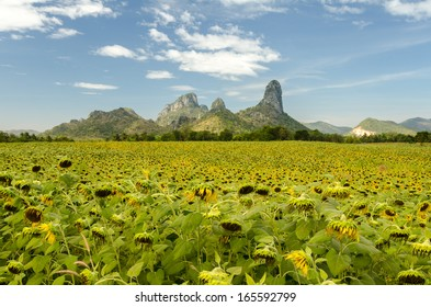 Sunflower field in the Big mountain
