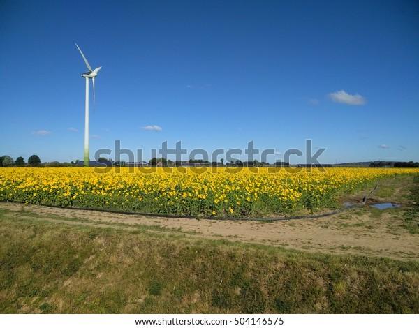 Sunflower field, blooming sunflowers, farmhouse and wind turbine on skyline.