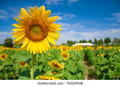 The sunflower in a field with blue sky background.