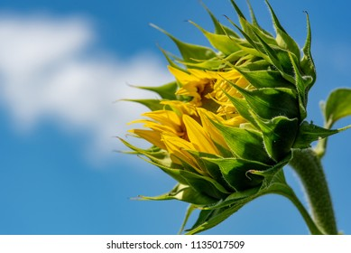 Sunflower field. Sunflower with blue sky and clouds. Summer background, bright yellow sunflower over blue sky. Bee on the sunflower