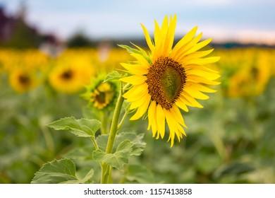 Sunflower field close up