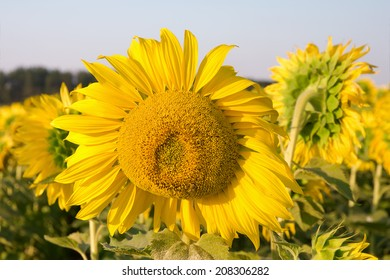 sunflower in a field close up. horizontal photo.