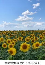 Sunflower field with cloudy blue sky.