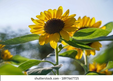 Sunflower field with cloudy blue sky. - Image