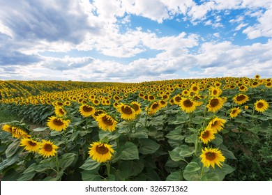 Sunflower field in the countryside of Moldova, Eastern Europe