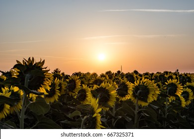 Sunflower field facing the beautiful sunset, landscape with beautiful yellow colors of the sky, and flowers Serbia / Vojvodina