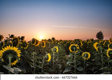 Sunflower field facing the beautiful sunset, landscape with beautiful yellow and red colors of the sky, and yellow flowers