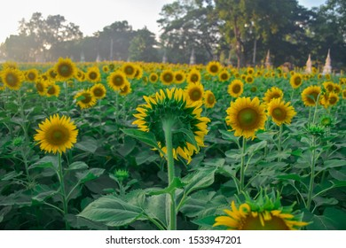 Sunflower field facing in the same direction, but something seem different is one of sunflower facing in opposite direction
