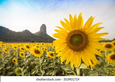 Sunflower field in front of mountain