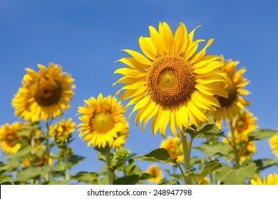 Sunflower field. Sunflower field in full bloom. Cloudy sky clear