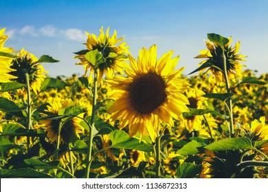 Sunflower field. Harvest concept. Agriculture, farming, crop, august, season