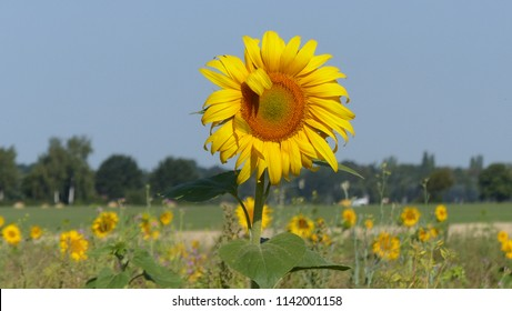 Sunflower field (Helianthus annuus) Asteraceae family. Location: Hanover District, Germany