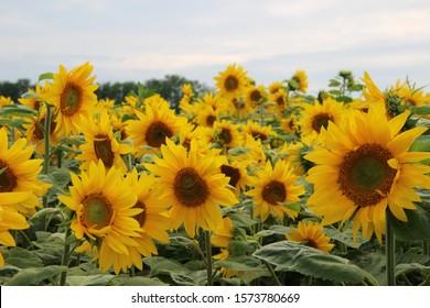 Sunflower field in Hokkaido, Japan