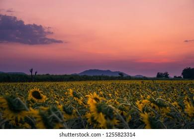 A sunflower field in Kansas with a beautiful sunset