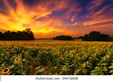A sunflower field in Kansas with a beautiful sunset