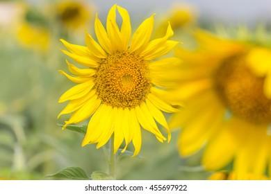 Sunflower field at Khao Jeen Lae, Lopburi, Thailand