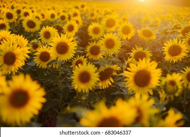 Sunflower Field Landscape Of Blooming Sunflowers On A Background Sunset Natural