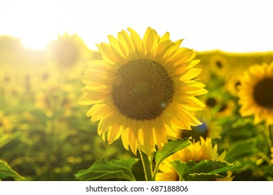 Sunflower field landscape field of blooming sunflowers on a background sunny day