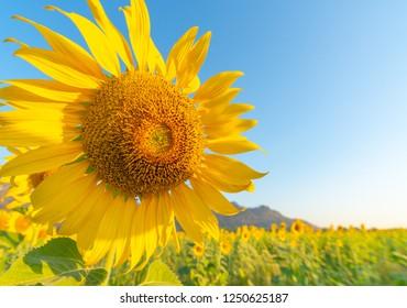 Sunflower field landscape close-up