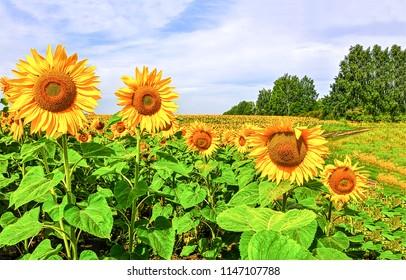 Sunflower field landscape. Sunflower field panorama. Sunflower field in sunny day landscape