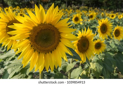 Sunflower Field with Large Sunflower in Foreground