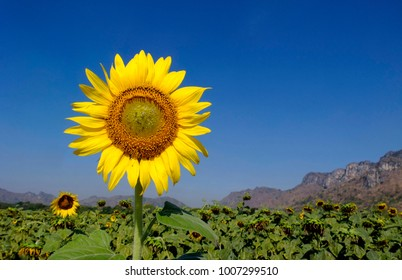 Sunflower field in Lop Buri, Thailand
