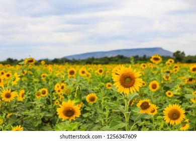sunflower field in lopburi , Thailand
