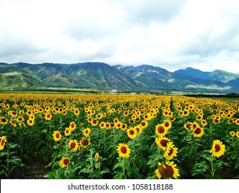 Sunflower field in Maui