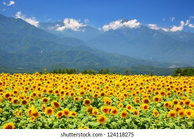 Sunflower field and mountain in summer, Japan