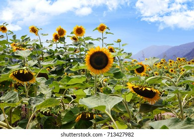 Sunflower field with mountains in the background in Japan