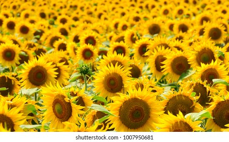 Sunflower field Sunflower natural background. Sunflower blooming