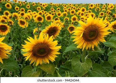 Sunflower field in nature