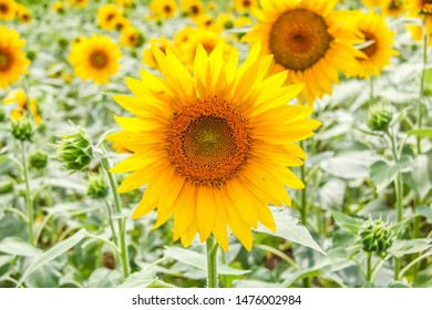 Sunflower field in Nazareth Kentucky