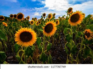 Sunflower field near blankenburg