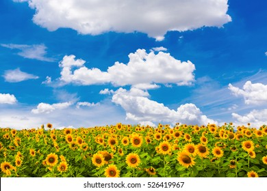 Sunflower field on blue sky