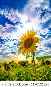 Sunflower field on cloudy sky background. Sunflower field scene. Sunflowet sky clouds view. Sunflower close up