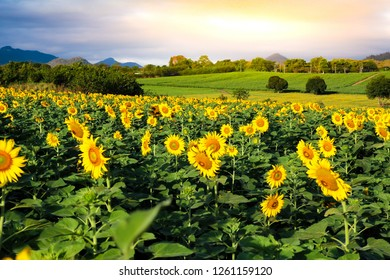 Sunflower Field on dramatic sky.