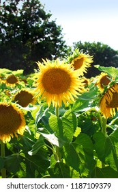 A sunflower field on a sunny day