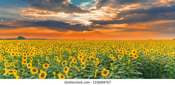 Sunflower field on sunset. Beautiful nature landscape panorama. Farm field idyllic scene.