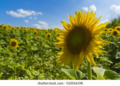 sunflower field over cloudy blue sky and bright sun lights.