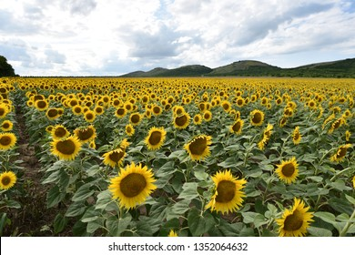 Sunflower field with power lines and hills in background
